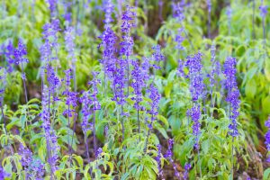 Landscaping and Bed Flowers Salvia farinacea