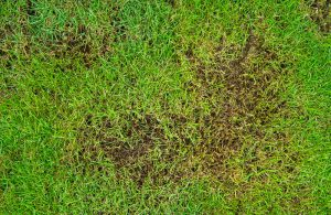 patchy lawn that has been affected by insects or fungus