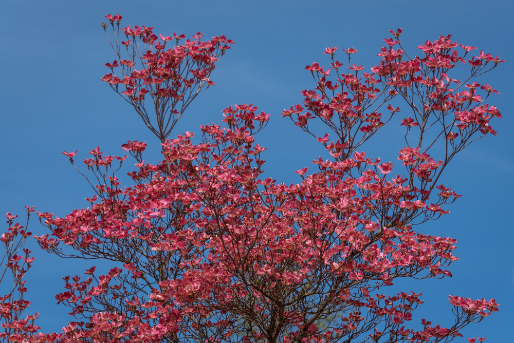 Dogwood in Your Landscape Care