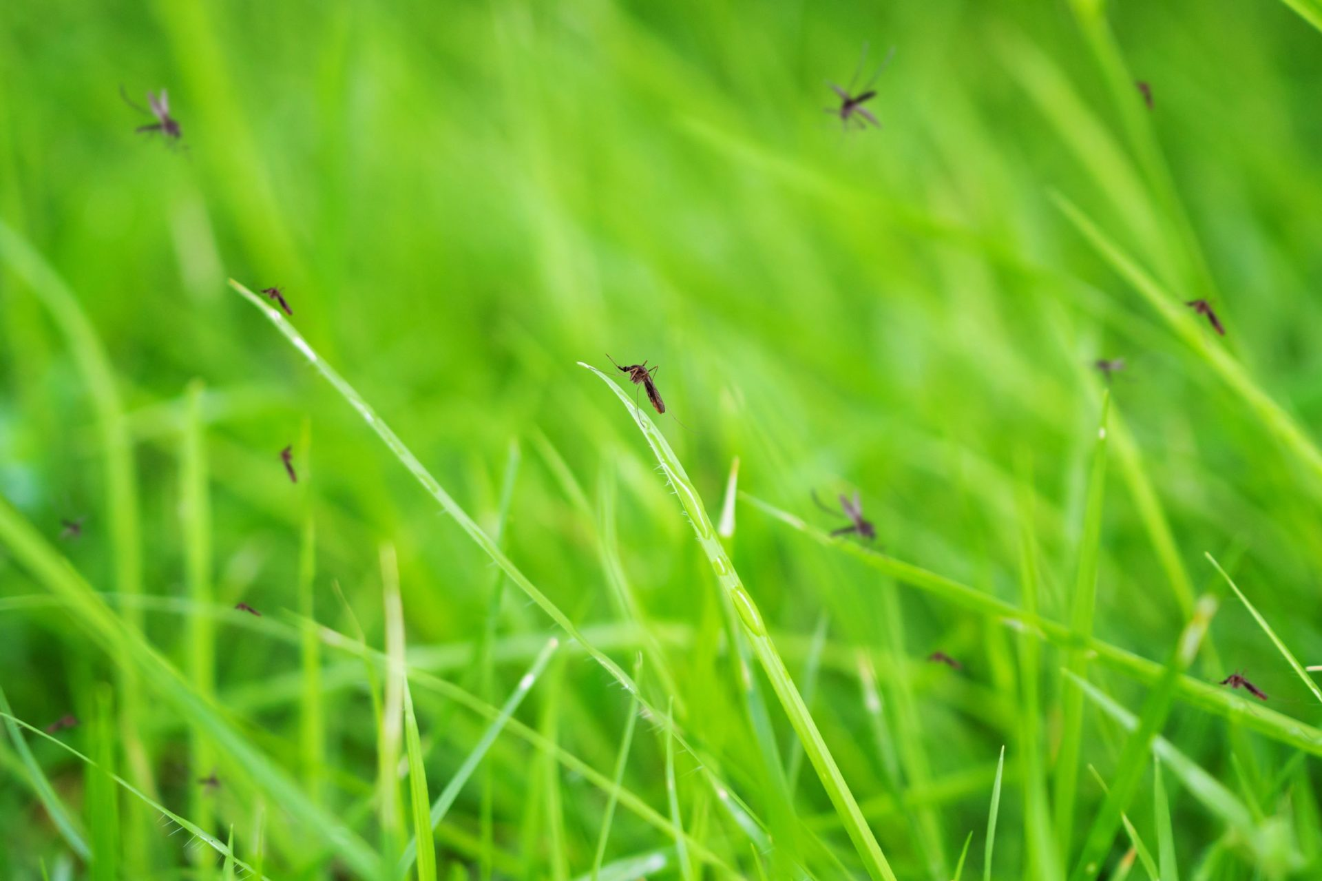 Mosquitoes in grass