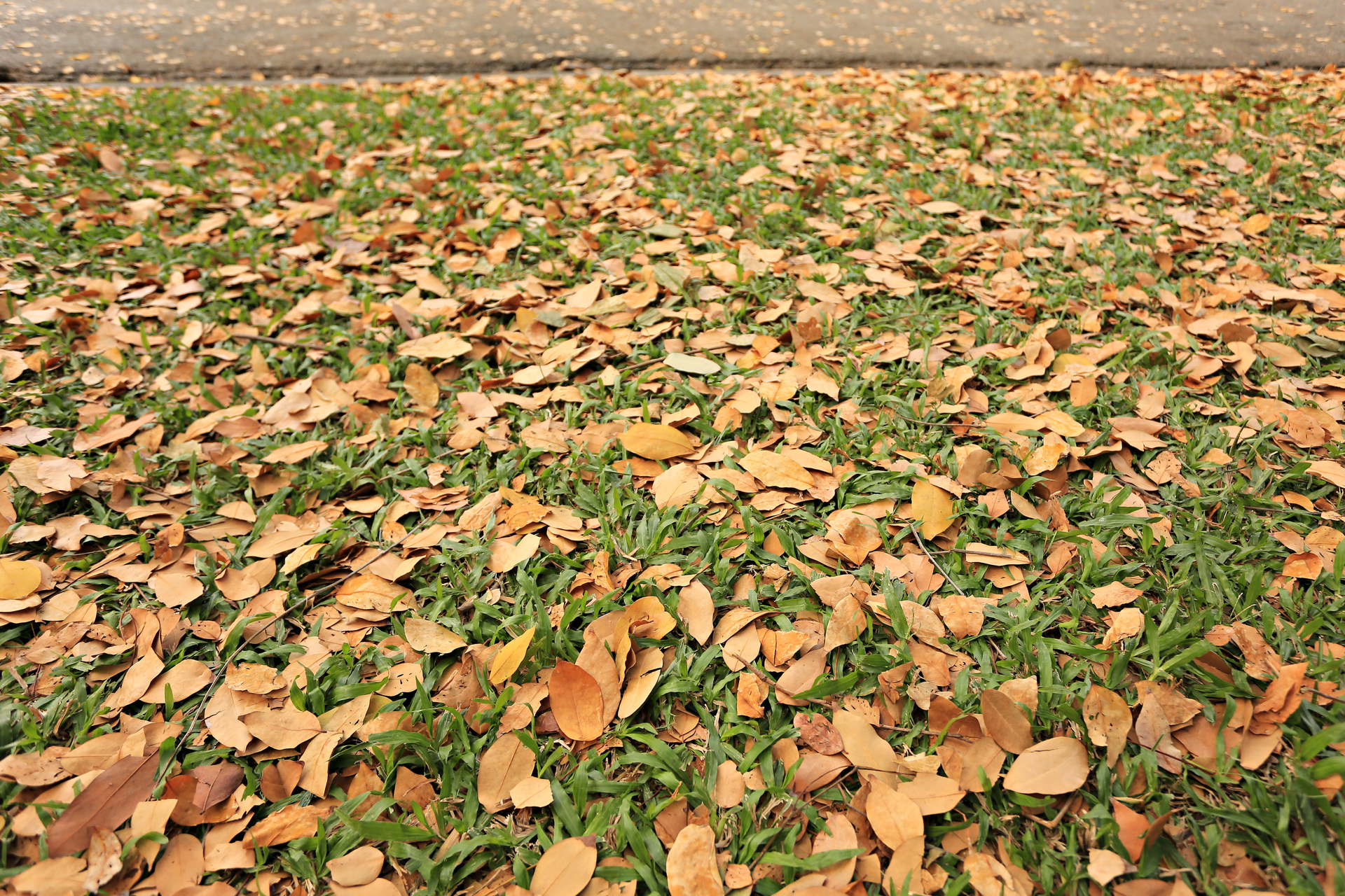 Dry leaves fallen on the lawn in the winter